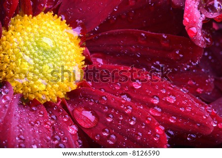 flower macro with water drops - stock photo