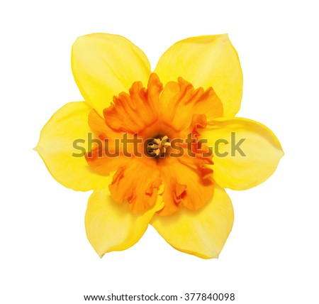 Flower magnificent yellow narcissus flower head isolated on white background - stock photo