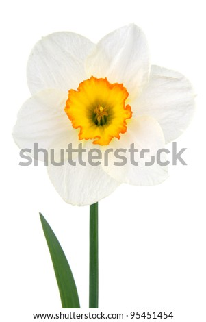Flower narcissus on white background - stock photo