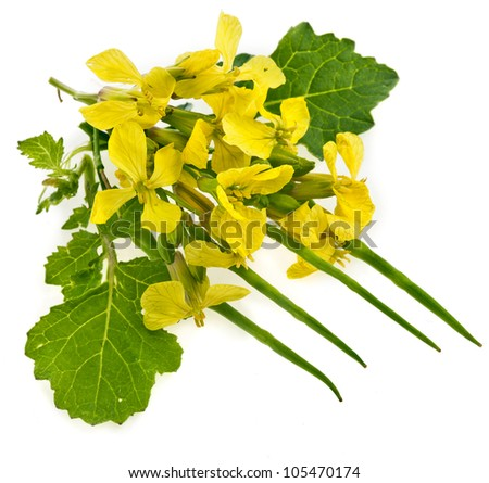 Flower of a mustard, Rape blossoms , Brassica napus, close up macro shot isolated on white background  - stock photo