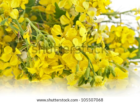 Flower of a mustard, Rape blossoms , Brassica napus, close up on white - stock photo