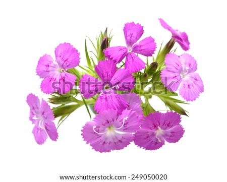 Flower of a pink dianthus  - stock photo