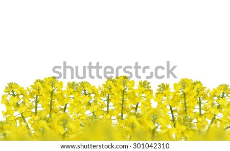 Flower of a rapeseed, Brassica napus, isolated on white background - stock photo