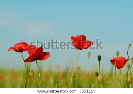 Flower of a red poppy
