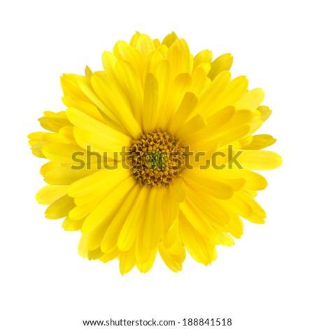 flower of calendula isolated on a white background - stock photo