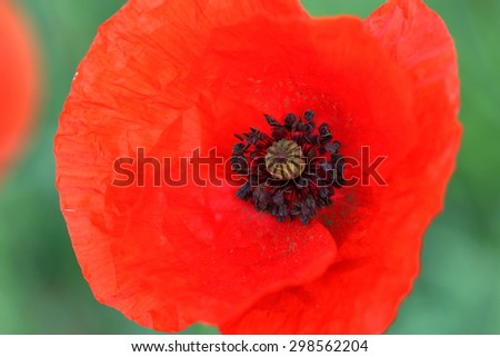 Flower of common poppy. Macro - stock photo
