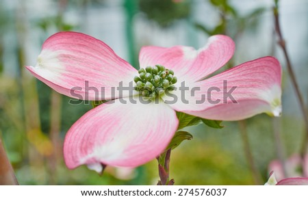 Flower of Cornus florida close up on nature background