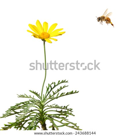 Flower of crown daisy and bee. Close up. Isolated on white - stock photo