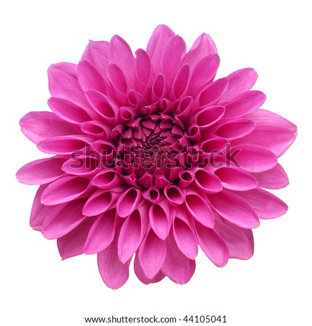 flower of dahlia on white background - stock photo