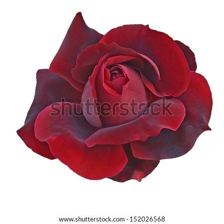 Flower of  dark red rose isolated on white - stock photo