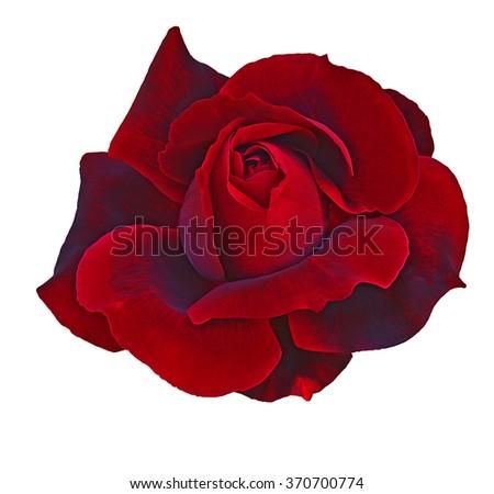 Flower of  DarkRed rose isolated on white - stock photo