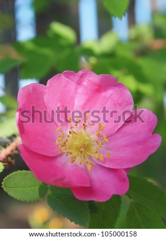 Flower of dogrose