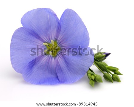 Flower of flax in closeup - stock photo