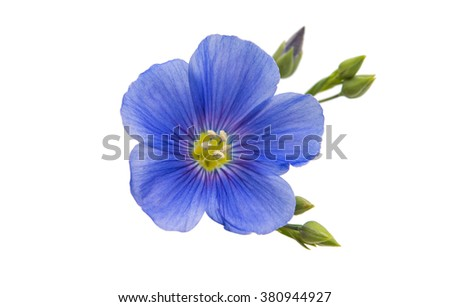 Flower of flax isolated on white background