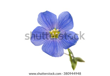 Flower of flax isolated on white background - stock photo