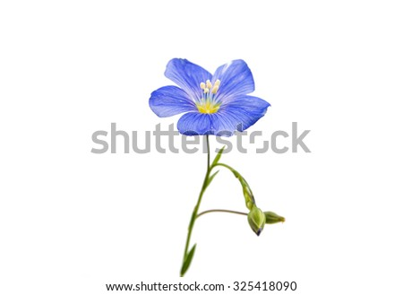 Flower of flax on a white background - stock photo