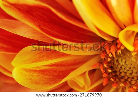 flower of georgina.macro - stock photo