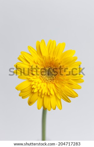 Flower of gerbera