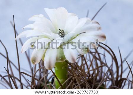 Flower of globe shaped cactus - stock photo