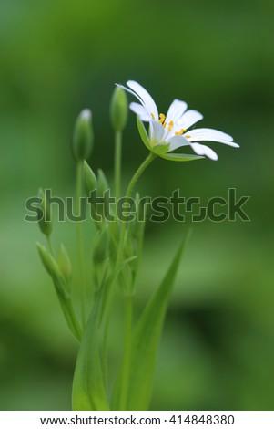 Flower of Greater Stitchwort (Stellaria holostea). Closeup - stock photo