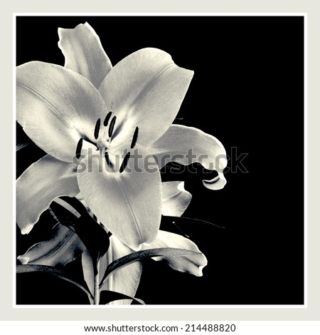 Flower of lily isolated frame designed. In black and white - stock photo
