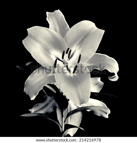 Flower of lily isolated. In black and white - stock photo