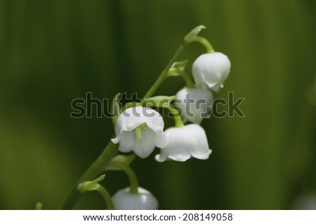 Flower Of Lily Of The Valley