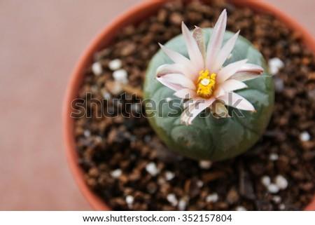 Flower of Lophophora koehresii cactus - stock photo