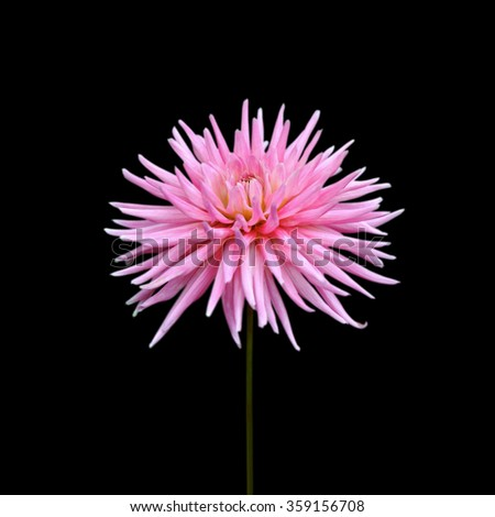 Flower of pink dahlia isolated on a black background