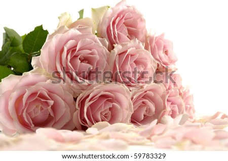 flower of pink roses with petals on white background - stock photo