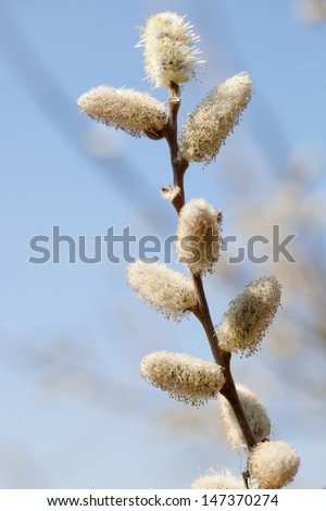 Flower of pussy willow against the sky close up - stock photo