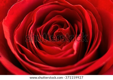Flower of red rose close-up