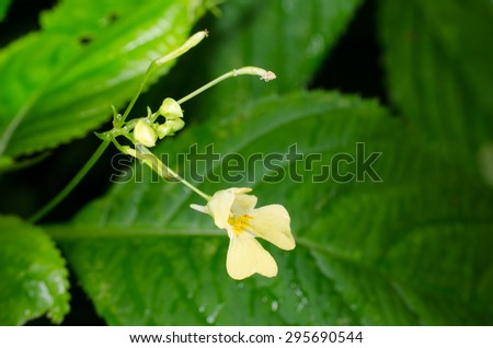 flower of small balsam - stock photo