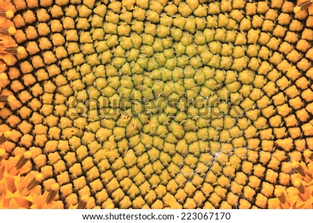 flower of sunflower - stock photo
