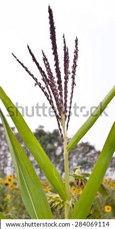 Flower of sunflower - stock photo