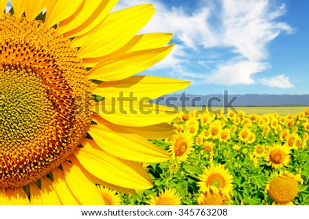 Flower of sunflower close-up on a background field of sunflowers - stock photo