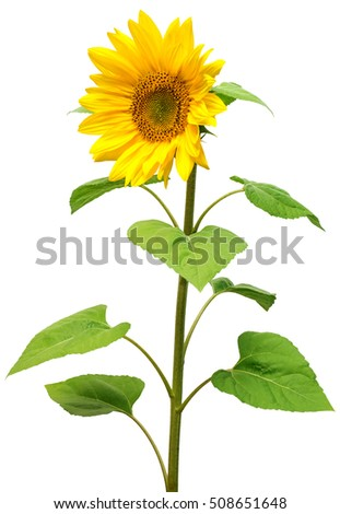 Flower of sunflower isolated on white background. Seeds and oil. Flat lay, top view. Single.