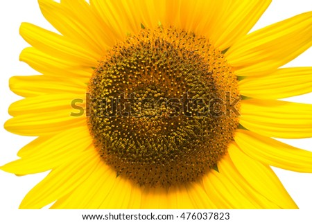 Flower of sunflower isolated on white background. Seeds and oil. Macro. Flat lay, top view