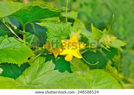Flower of the cucumber plant  in vegetable garden - stock photo