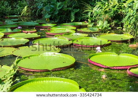 Flower of the Victoria Amazonica, or Victoria Regia, the largest aquatic plant in the world in Belem do Para, Brazil - stock photo