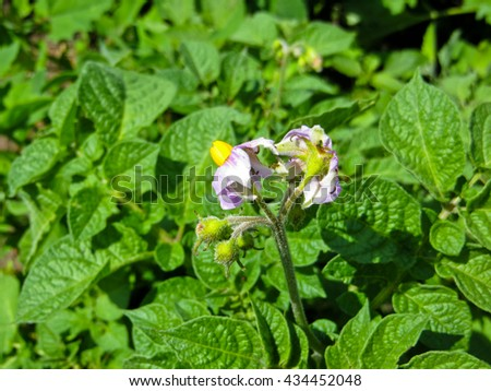 Flower of the young potato plant - stock photo