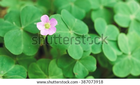 Flower of three leaf clovers - stock photo