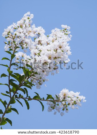 Flower of white Lagerstroemia indica(Crape myrtle) family Lythraceae, shallow depth of field focus on pollen.