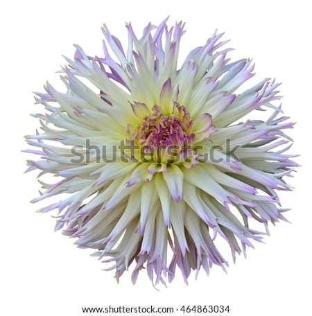 Flower of  white- pink acutifoliate  dahlia isolated on white