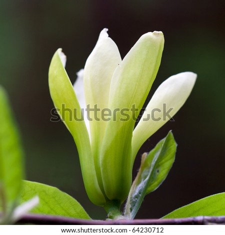 flower of yellow magnolia - stock photo