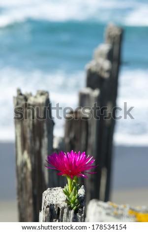 Flower on Fence overlooking Ocean - stock photo