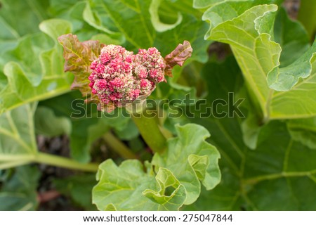 flower on rhubarb (rheum x hybridum) that has 'bolted' (flowered).  Flowering stems take energy from the plant and so are usually removed.   - stock photo