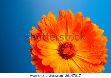 "Flower orange ""aster "" daisy on the background of color blue"