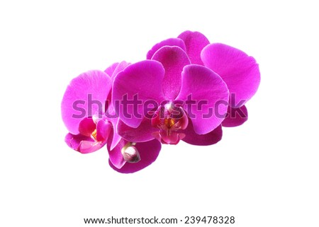 Flower orchid. Purple. On white background.                                - stock photo
