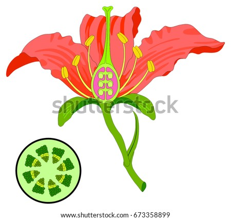 Flower parts diagram stem cross section em ilustrao stock flower parts diagram with stem cross section anatomy of plant morphology and its contents useful for ccuart Images